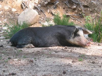 Schwein Korsika
